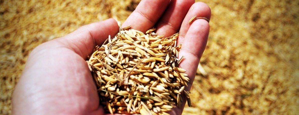 raw paddy fields for modern rice milling process
